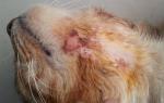 Что делать, если кошка расчесывает шею до крови?