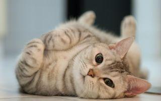 Течка у кошек: особенности, симптомы, отклонения от нормы