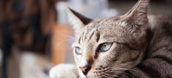 У кота пропал голос: причины, как помочь питомцу
