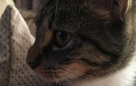 Из-за чего у кошек на носу появляются шишки?