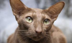 Описание породы  Яванез (яванская кошка)