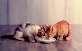 Рацион для котят до года
