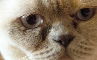 Воспаление глаз у кошки: симптомы и лечение конъюнктивита