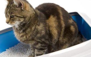 У кота кровь в кале: причины, лечение и профилактика