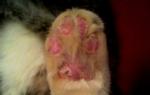 У кошки облазят подушечки лап: что это может быть?