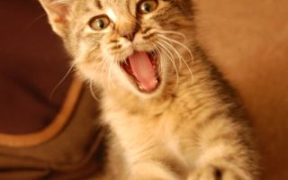 Смена зубов у котят: сроки и особенности у разных пород