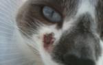 Из-за чего возникают гнойные раны на щеках у кошек?