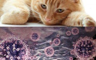 Коронавирус у кошек. Симптомы. Опасные последствия.
