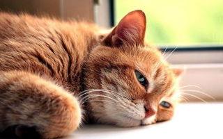 Хламидиоз у кошки: пути заражения, симптомы, лечение инфекции