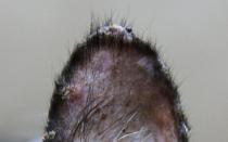 У кошки на ушах корочки — это опасно?