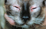 Закисают глаза у кошки: в чем причина и как лечить?