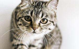Описание породы  Шотландская прямоухая кошка (Скоттиш страйт)