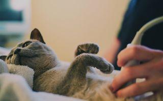 Непроходимость кишечника у кошек: чем вызвана, возможные последствия.