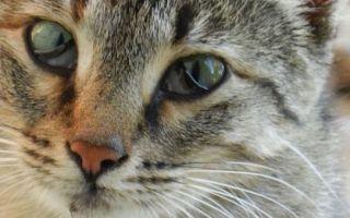 Выпадение третьего века у кошки: причины и лечение