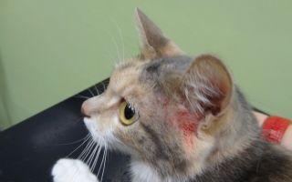Как лечить расчёсы у кошки и причины зуда.