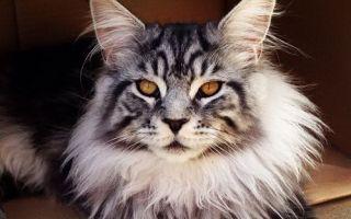 Содержание и уход за кошкой породы Мейн Кун