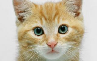 Может ли у здорового котенка нос быть сухим?