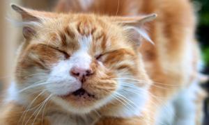 Почему возникают корочки на носу у котов?
