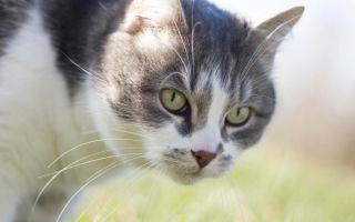 Описание породы  Эгейская кошка