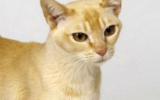 Описание породы  Цейлонская кошка