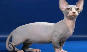 Описание кошек породы Бамбино