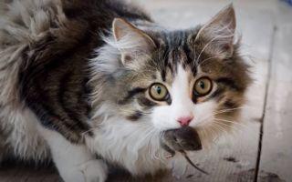 Как защитить кошку от токсоплазмоза: пути заражения, симптомы, лечение и профилактика.