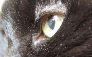 Перхоть у кошки: причины появления и способы лечения