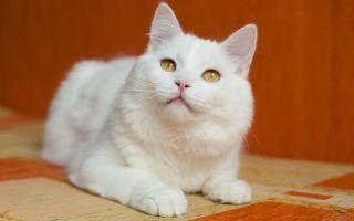 Кошки-альбиносы: особенности внешности, здоровья и характера