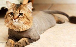 Груминг кошек: уход за шерстью и особенности процедуры