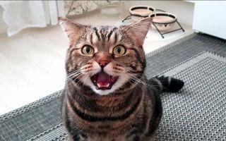 Когда кастрировать кота: оптимальный возраст, преимущества и недостатки.