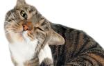 Что делать, если кошка чешет уши и трясет головой