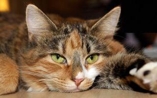 Что вызывает анемию у кошек: симптомы, лечение, профилактика.