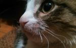 Стоит ли волноваться если выпадают усы у кошки?
