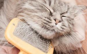 кошка сильно линяет после стерилизации