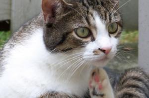 кот расчесывает кожу до крови