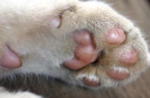 наросты на подушечках лап у кошки