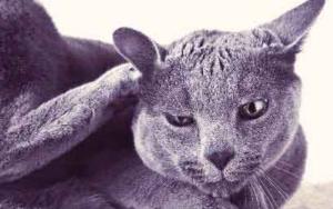 кошка чешет уши до крови снаружи