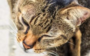 кошка постоянно чешет уши и трясет головой