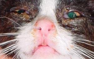 у кошки закисают глаза коричневым