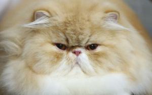 прыщ за ухом у кошки