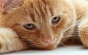 у кошки твердый живот после родов