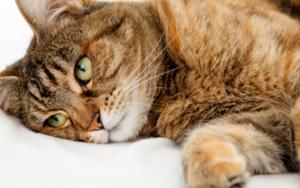 у кошки вздутый твердый живот