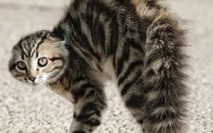 кошка поджимает хвост фото