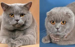 у вислоухого кота выпрямились уши фото