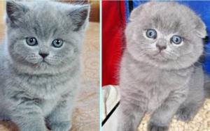 у вислоухого котенка выпрямились уши фото