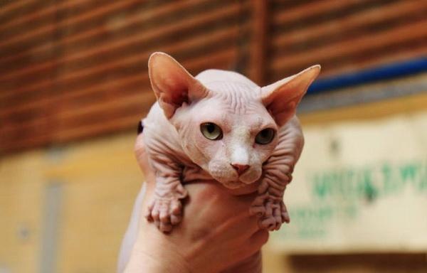 Внешний вид кошки