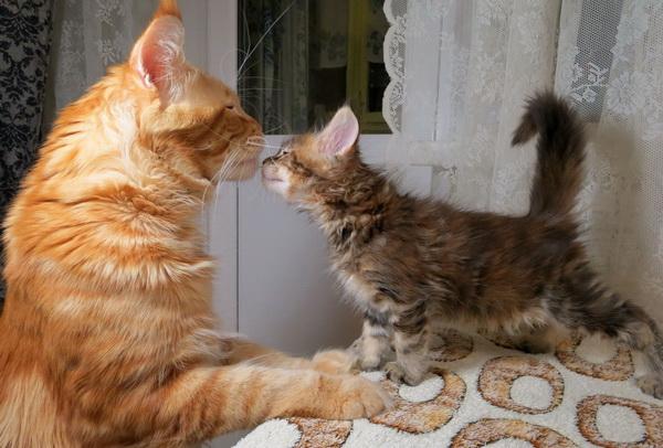 Мейн Кун ухаживает за котенком