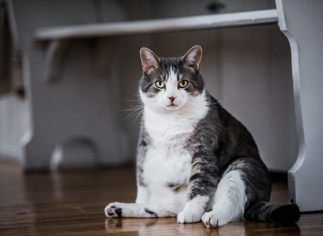 ожирение у кота