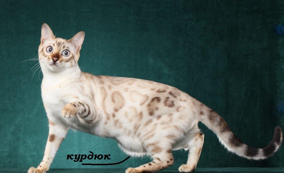 курдюк у кошки