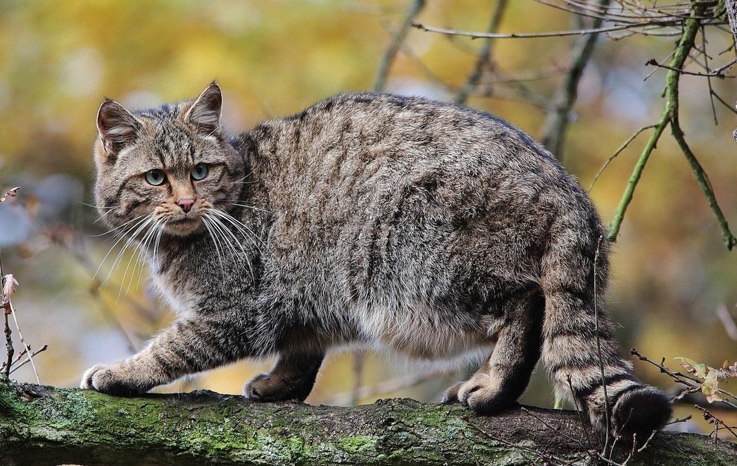 курдюк у лесной кошки